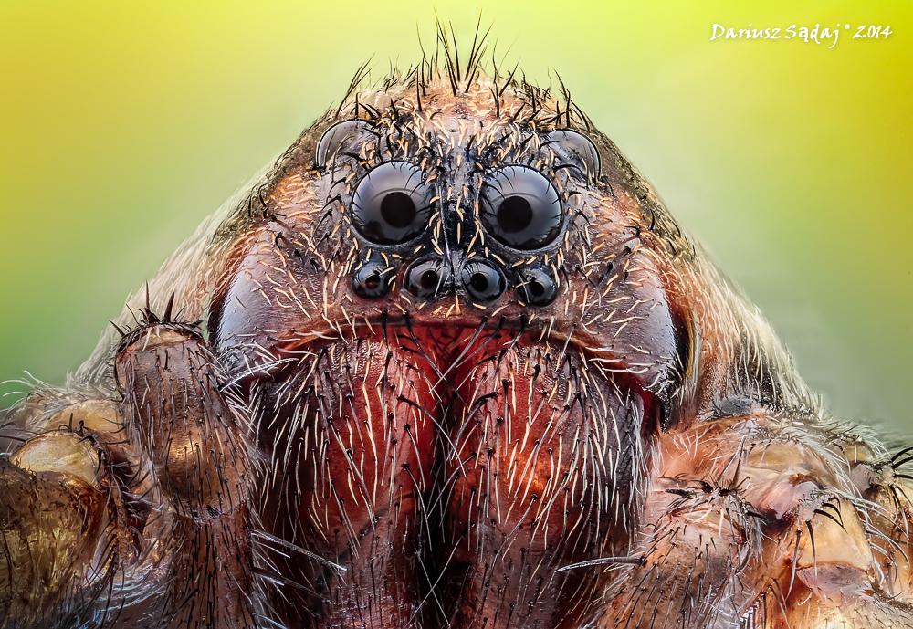 Wałęsak łąkowy (Pardosa palustris)
